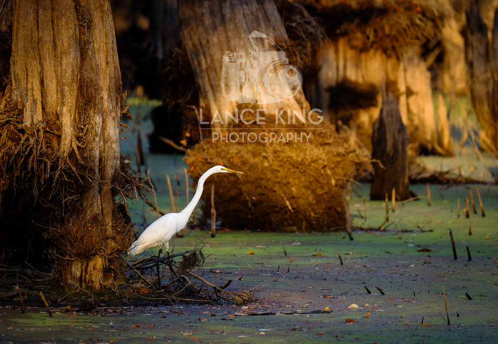 Great Egret On Prowl >> Great Egret On The Hunt Lance King Photography