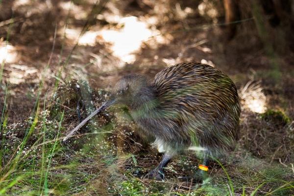 Copy of Kiwibird on Stewart Island, New Zealand