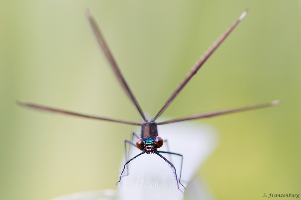 Calopteryx maculata