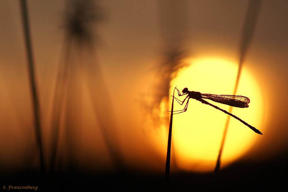 Lestes-sponsa-sunrise-silhouette.jpg