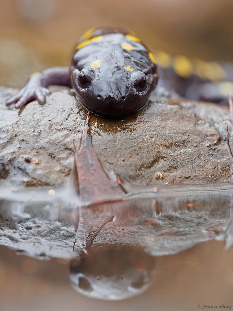 Gefleckter Salamander (Ambystoma maculatum)
