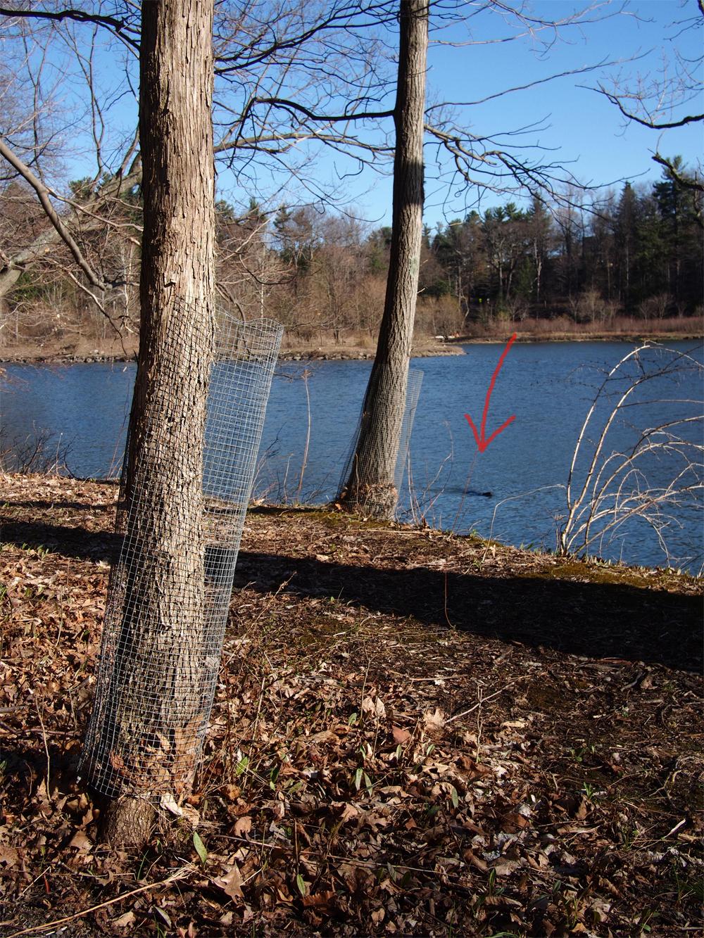 Baumschutz. Der rote Pfeil zeigt auf den im Hintergrund schwimmenden Biber