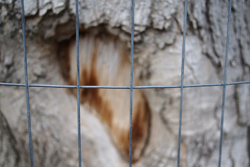 Verjährter Biberverbiss hinter Gittern