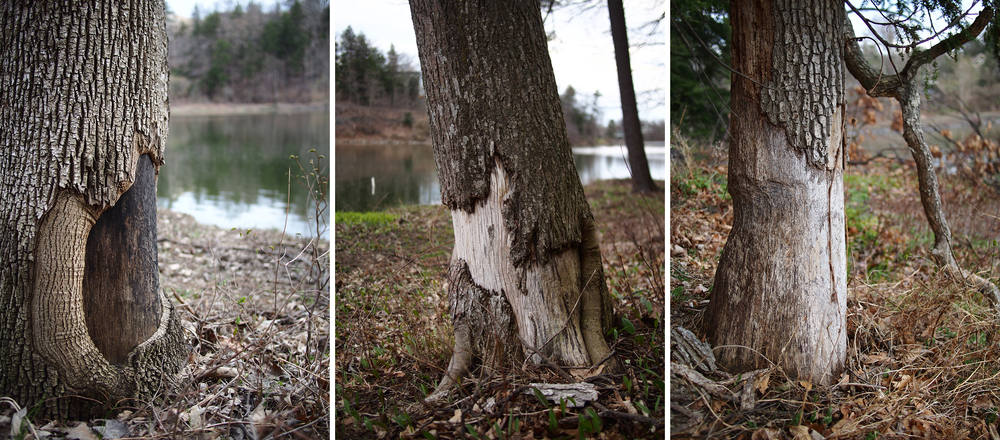 Years old Beaver damage