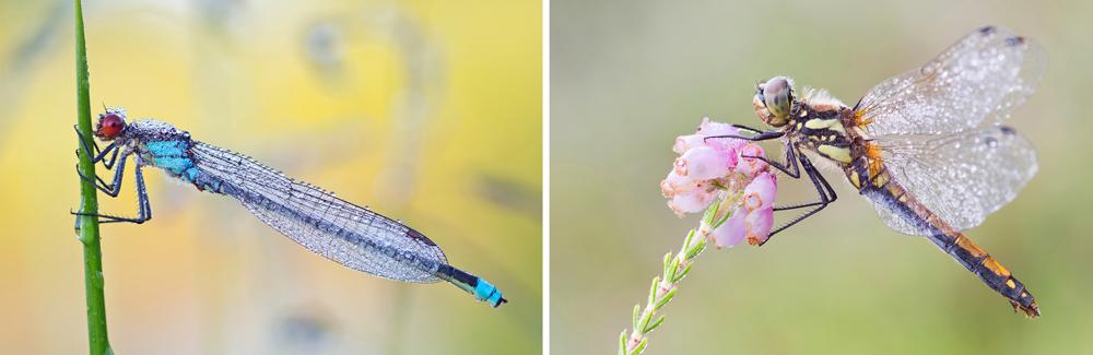 Links: Kleinlibellen ruhen meist mit zusammengelegten Flügeln. Rechts: Großlibellen können die Flügel nicht zusammenlegen.