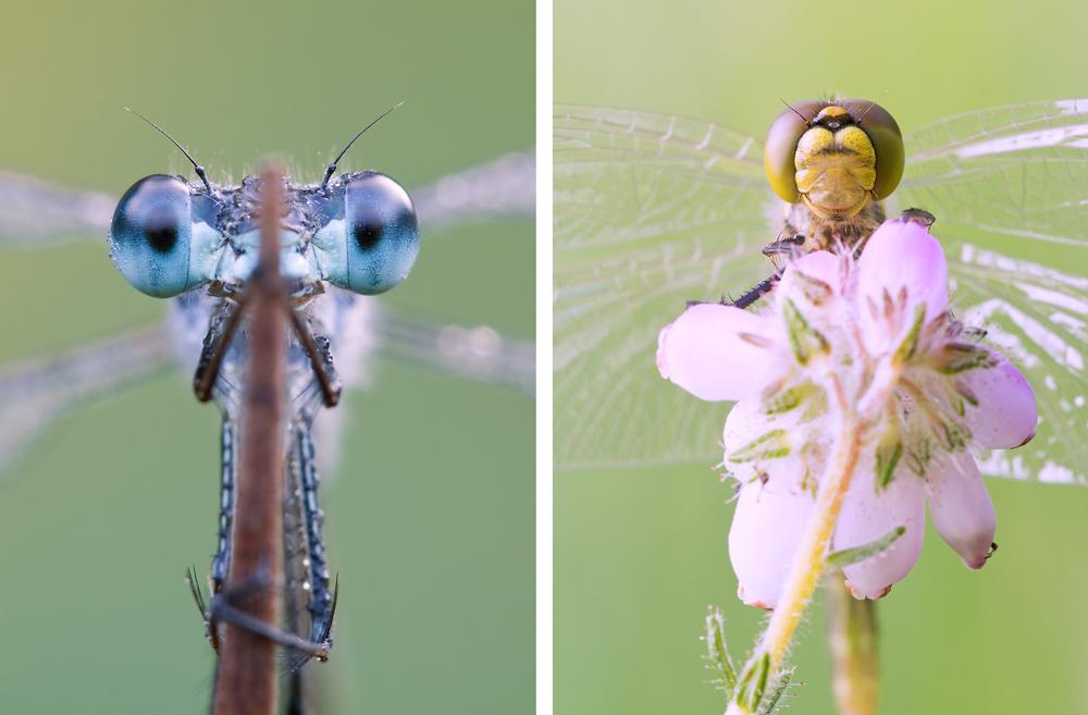 Unterschiedliche Kopfform. Während bei der Kleinlibelle (links) die Augen vollkommen voneinander getrennt sind, stoßen sie bei der Großlibelle (rechts) an der Kopfoberseite zusammen.