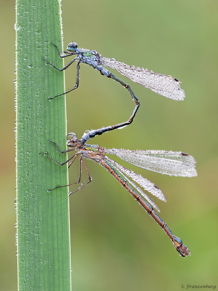 A tandem of a male (top) and a gynochrome female (bottom) Lestes sponsa. I took this image in the early morning (hence the dew drops), mating and oviposition (egg laying) probably happened the day before. Note that the female shows the typical blue coloration, whereas the female is colored in copper.