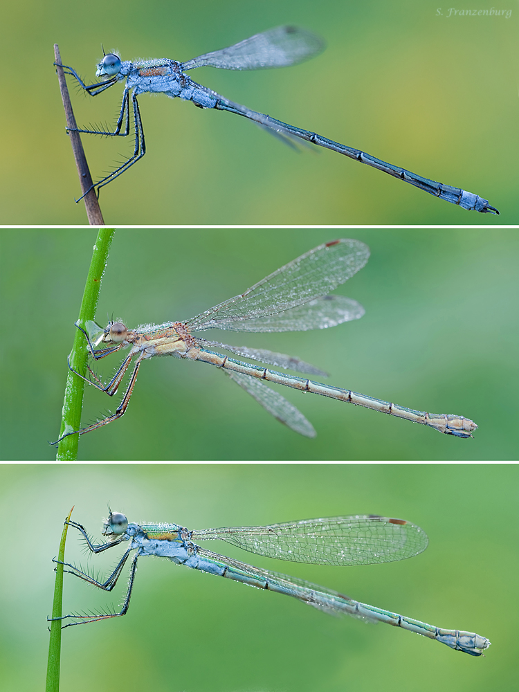Lestes sponsa, comparison of sexes and female color morphs:  top:  typical, blue colored male. Note the slender abdomen and the cerci at the end.  center:  typical, bronze/copper colored female (gynochrome)  bottom:  androchrome female, note the blue coloration of the body and eyes.