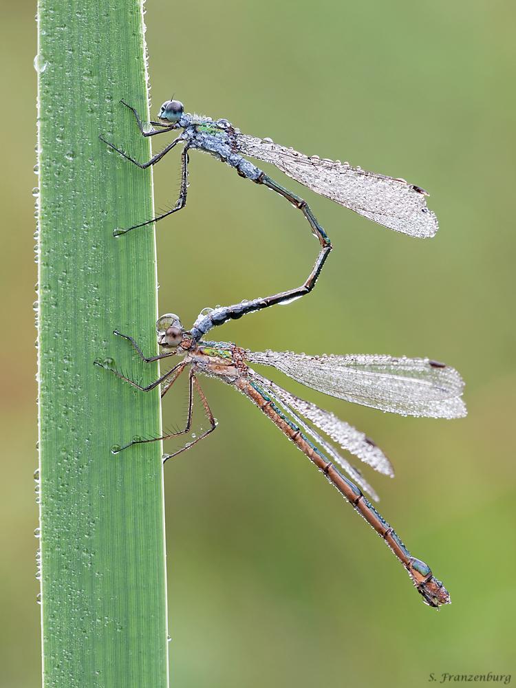 Ein Paarungstandem aus einem Männchen (oben) und einem gynochromen Weibchen (unten). Das Bild entstand am frühen Morgen (daher die Tautropfen). Die Paarung und Eiablage fand vermutlich am Vortag statt. Gut zu sehen ist die typisch blaue Farbgebung des Männchens und die typisch kupferne Farbgebung beim Weibchen (gynochrome Morphe).