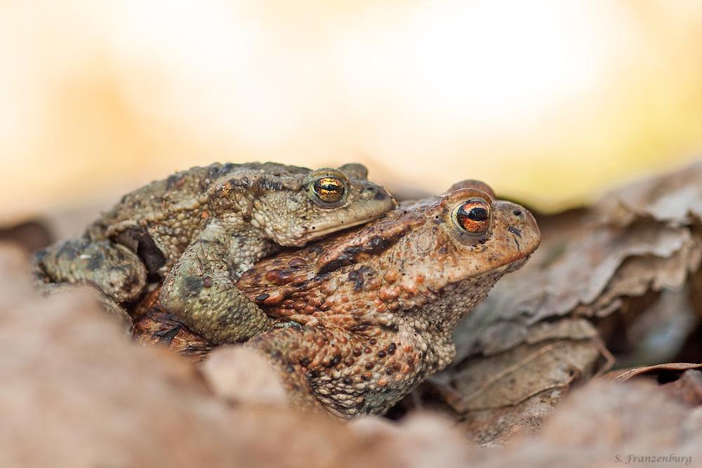 Erdkröten-Paar (Bufo bufo) im Amplexus auf dem Weg zum Laichgewässer