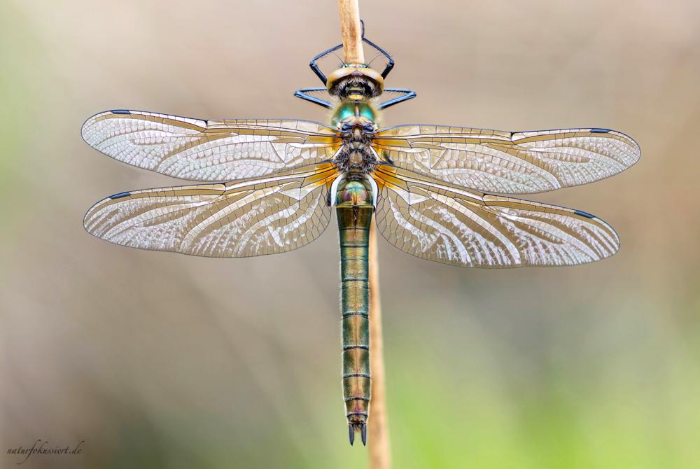 Adulte Smaragdlibelle (Rückenansicht)