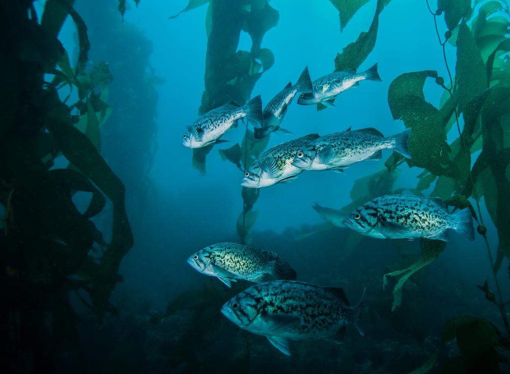 Blue_Rockfish_sebastes_mystinus.jpg