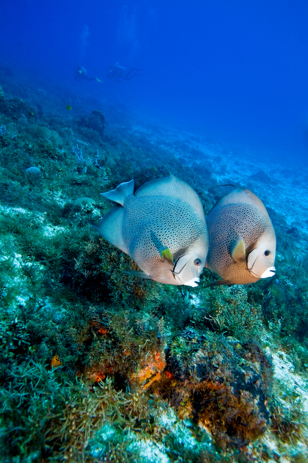 two gray angelfish Pomacanthus arcuotus, swimming in waters of Cozumel, Mexico, with divers in background