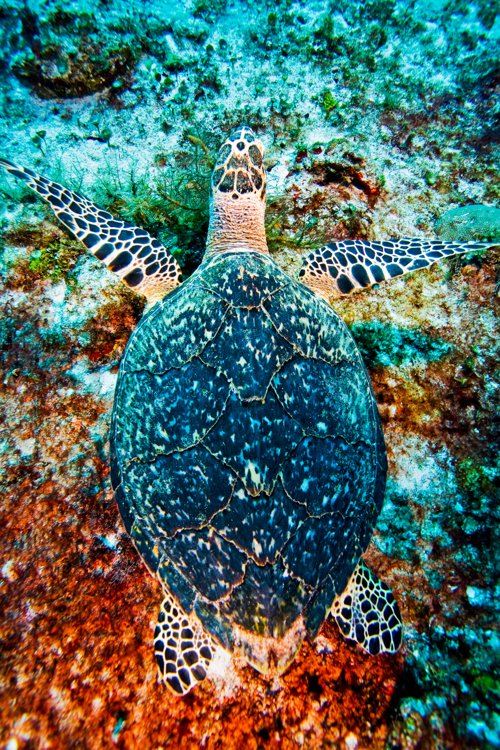 hawksbill sea turtle Eretmochelys imbricata, swimming off the waters of Cozumel, Mexico in the Gulf of Mexico