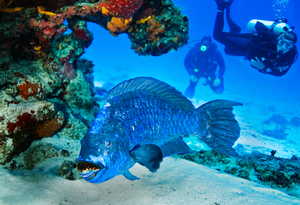 Midnight_Parrotfish_Scarus_coelestinus_withtwodivers.jpg