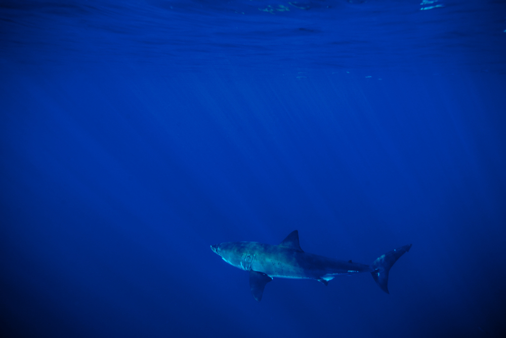 Great_White_Shark_Carcharodon_carcharias05.jpg