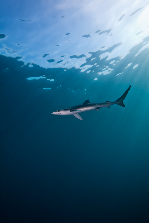 Juvenile_Blue_Shark_Prionace_glauca.jpg
