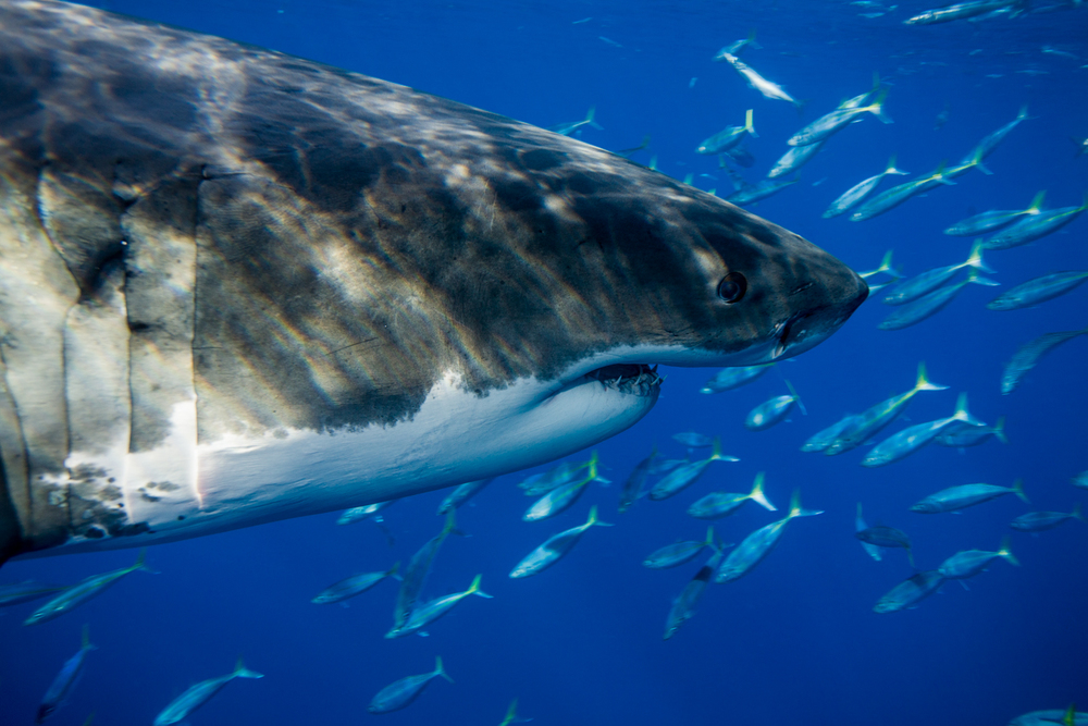 Great_White_Shark_Carcharodon_carcharias08.jpg