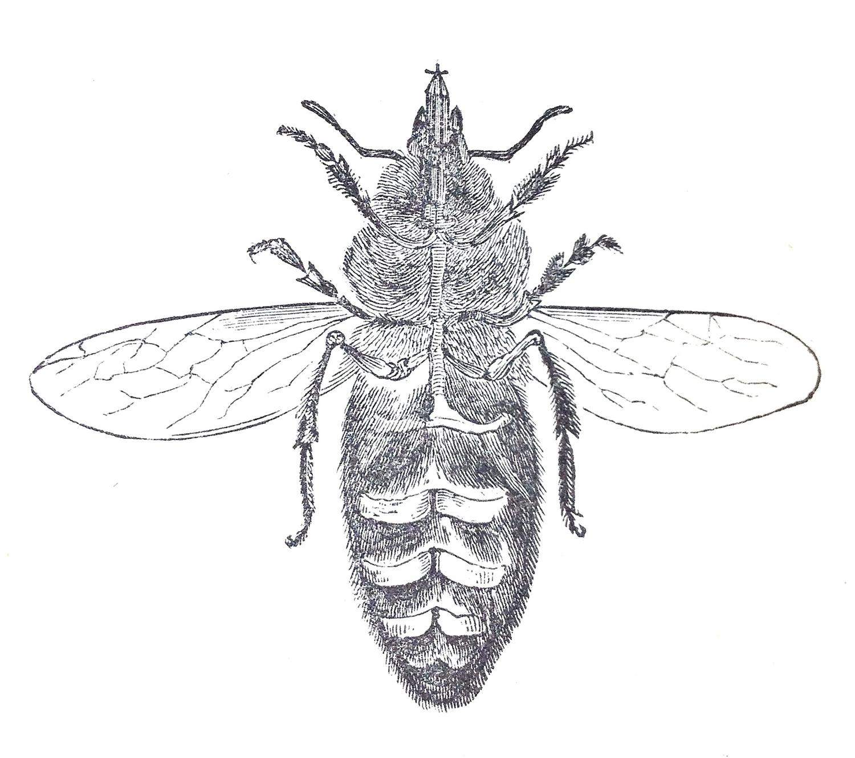 Honey Bee Anatomy, Identification of Sub-species — bee.ecology