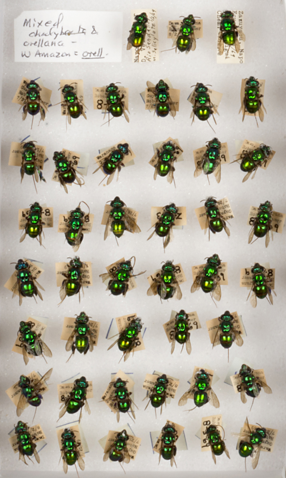 Bee Collection, Detail, Euglossine, Orchid Bees