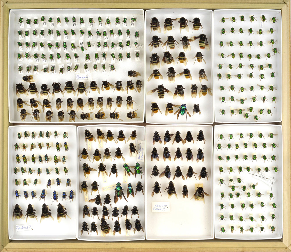 Bee Collection, Headless Bees of Ecuador