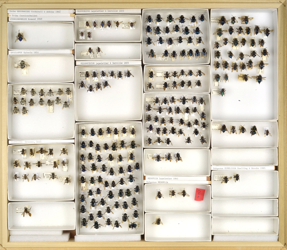 4_Bee Collection, Melissodes, Long-horned bees