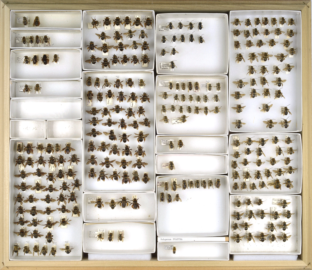 Bee Collection, Svastra, long-horned bees