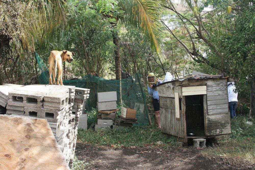 Grenada Dog beekeeper hiding.jpg