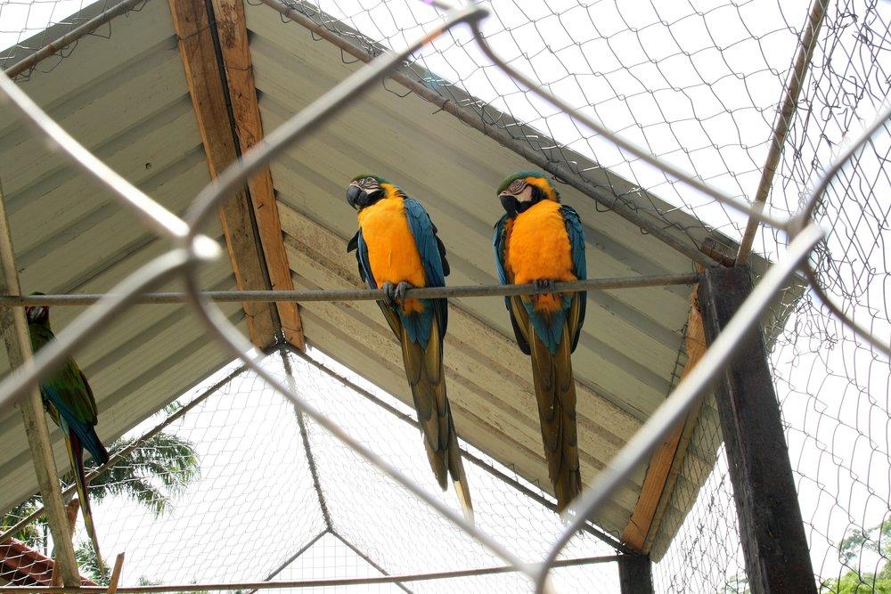 Grenada Parrots.jpg