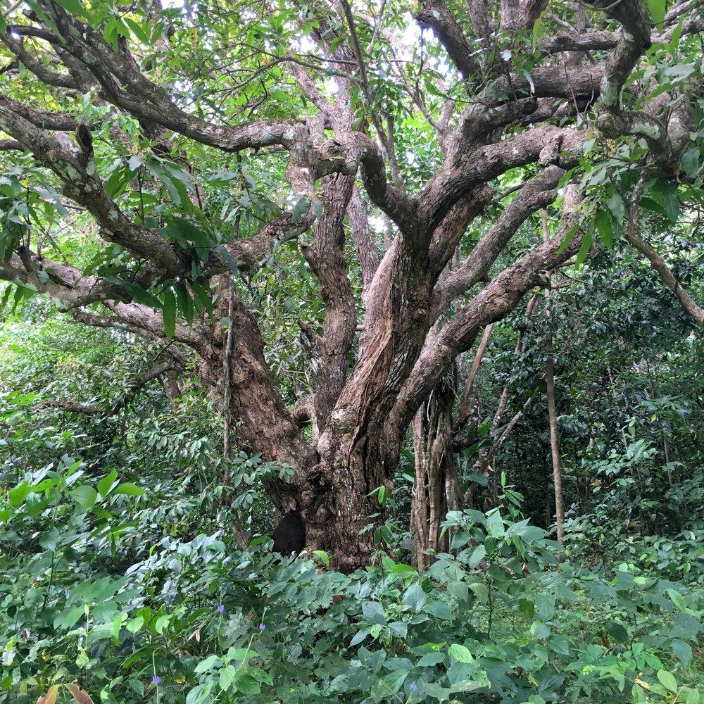 St Lucia Mango Tree Entire.jpg