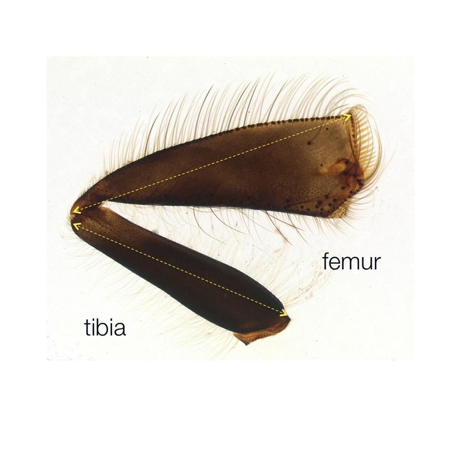 04 AHB femur tibia.jpg