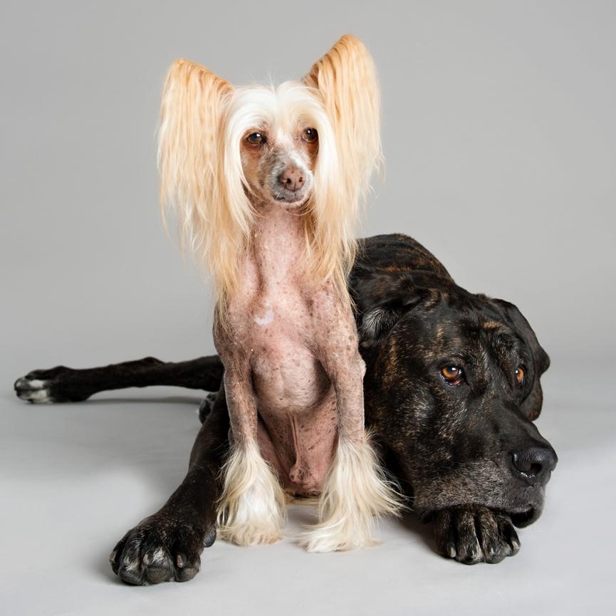 chinese crested mastiff sassyt academy