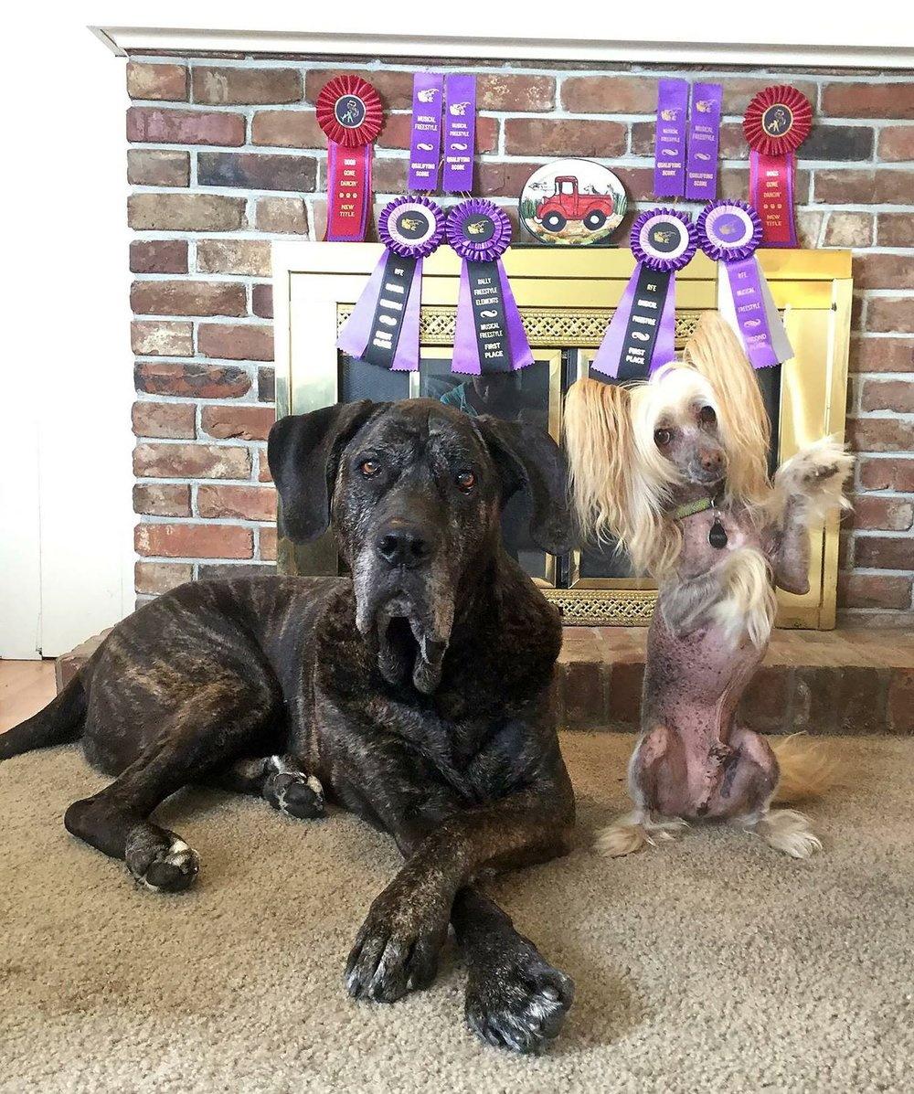 Just a few weeks after I arrived the local freestyle club, Dogs Gone Dancing, hosted a live freestyle show. So we jumped right in! Ringo put in his strongest performance ever, finishing his Elite Intermediate title. Terra felt well enough to perform both days, caused the audience to cry and polished off her Elite Novice title.