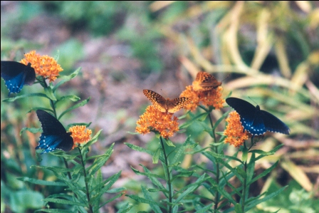 Plants for pollinator gardens