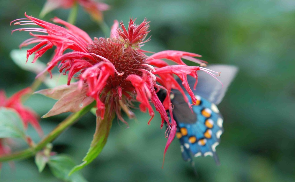 red flower--butterfly-founders.jpg