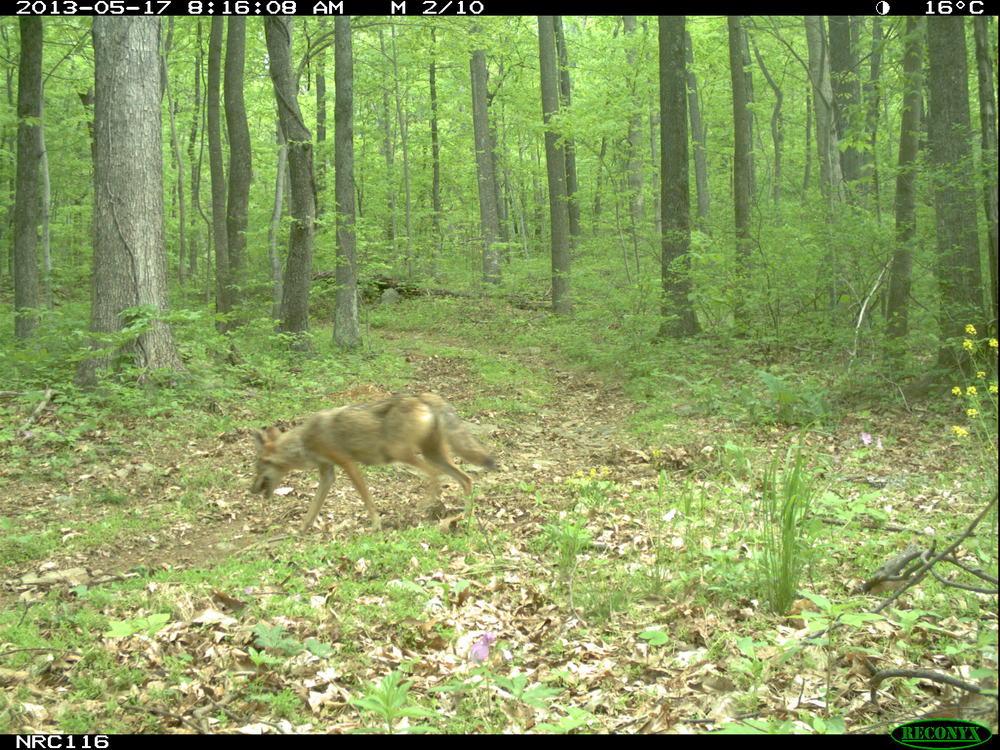 Coyote0132.JPG