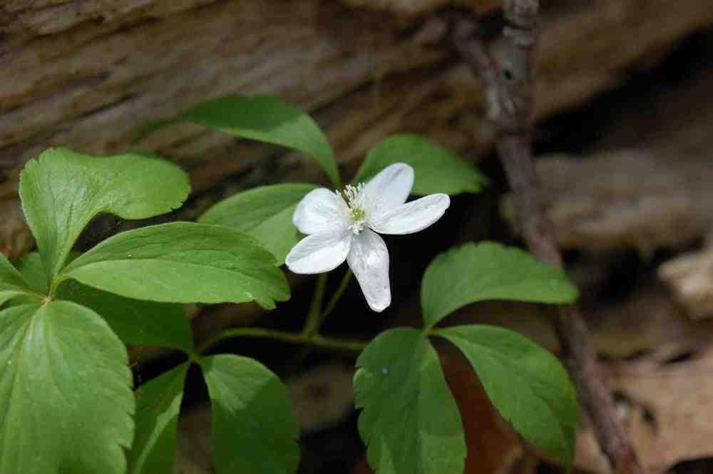 White violet Shamokin.jpg