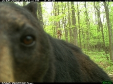 Learn about eMammel Wildlife Camera Tracking research at The Nature Foundation at Wintergreen. [Click here]