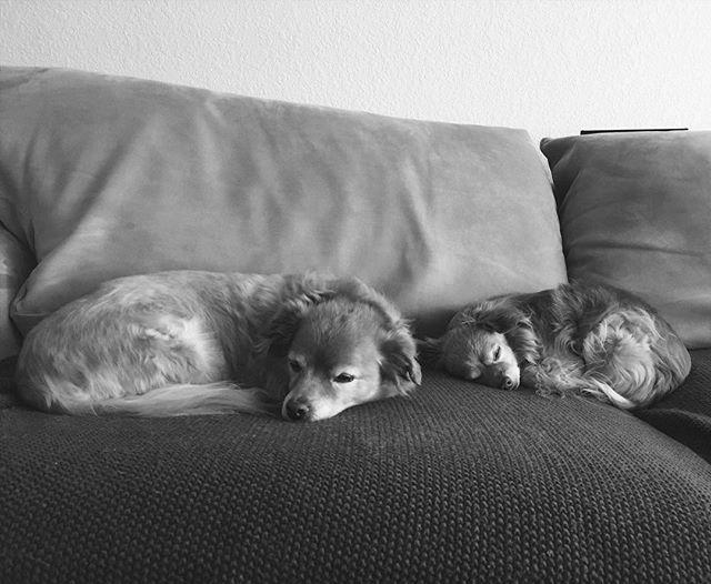 I love my two old men pups. #maximus #titan #seniordogs