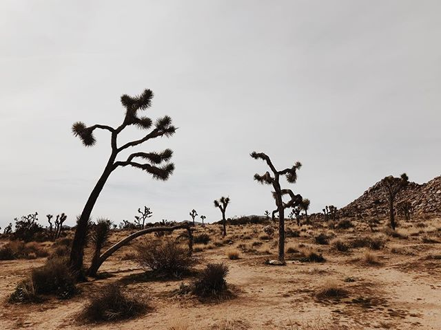 Straight out of Dr. Suess. #joshuatrees #groovy #babygorilla #kompaiopai