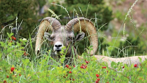 The Late Bam Bam; Lander's famous long horned sheep!