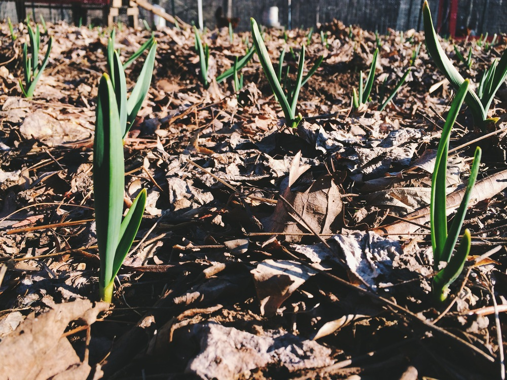 Garlic, confidently busting out of the leaf mulch that kept it protected all winter.