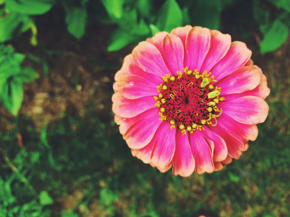 Look. at. this. flower. I'm generally not zinnias' number one fan, but seriously.