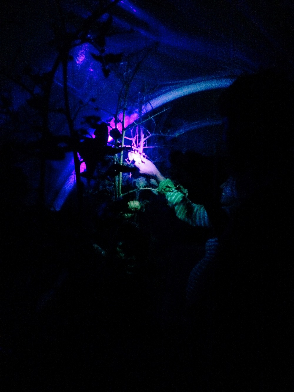Turns out the rumors are true! Tomato hornworms glow under blacklight, so this is our new preferred picking method - out after dark, hunting by flashlight, squishing under our boots.