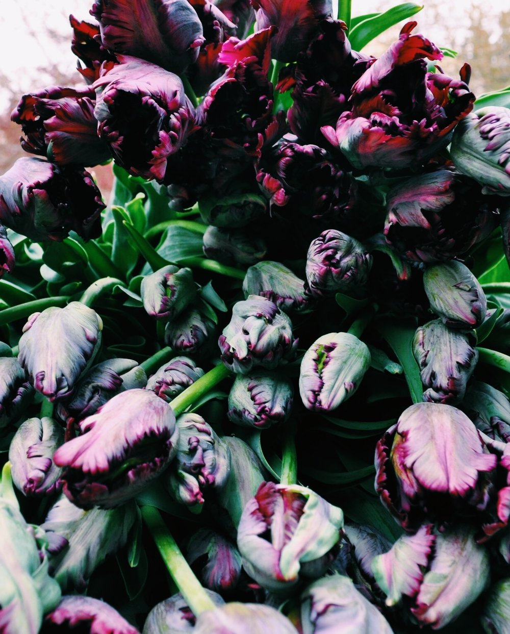 Black parrot tulips, I mean seriously?!
