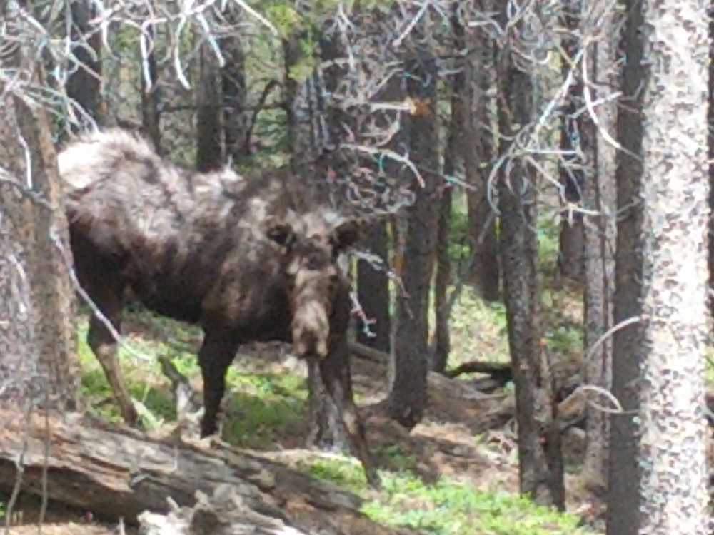 Breckenridge Moose