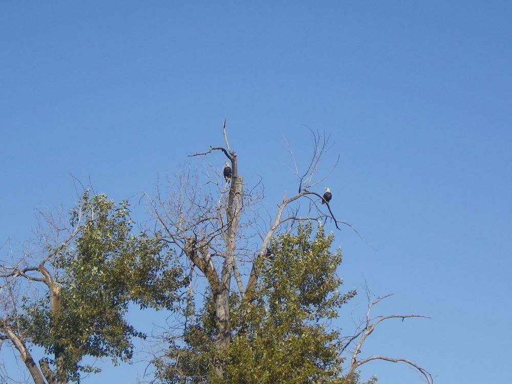 A pair of bald eagles outside Colfax, Washington
