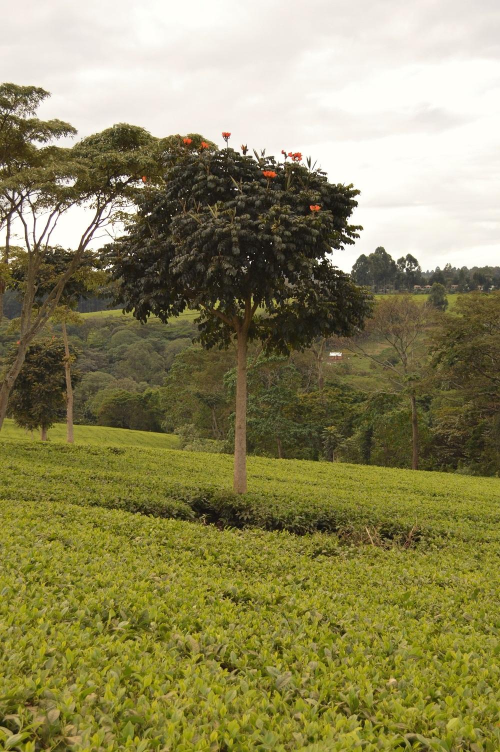 Nandi Flame Tree