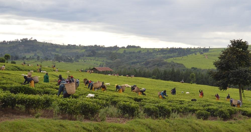 Workers picking tea.