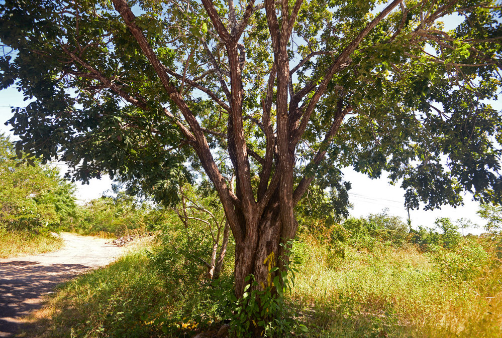 A cocobolo tree sits along the edge of Guanacaste National Park in Costa Rica's northwest.